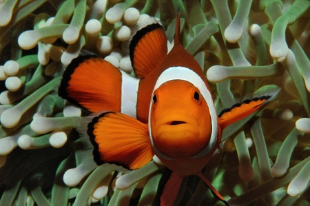 nemo: Amphiprion (Western clownfish (Ocellaris Clownfish, False Percula Clownfish)) is hiding in anemone, Puerto Galera, Philippines