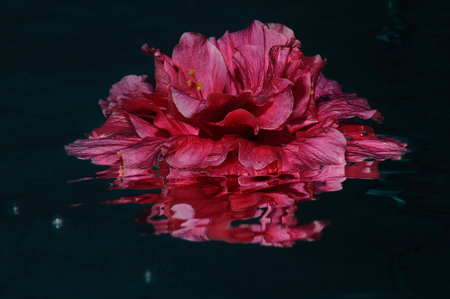 The closeup shot of Hibiscus flower made under the water, Panglao, Philippines
