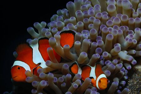 Couple of clownfish (Western clownfish (Ocellaris Clownfish, False Percula Clownfish)) are protecting their eggs, Panglao, Philippines Stock Photo