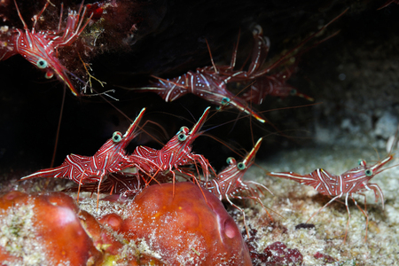 Dancing shrimps (Rhynchocinetes durbanensis, Rhynchocinetes uritai) are hiding in a narrow crack, Panglao, Philippines