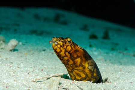 Clown (Napoleon) snake eel is peeping out of its burrow, Panglao, Philippines