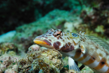 latticed: Latticed sandperch is lying on a piece of coral waiting for a haul, Panglao, Philippines
