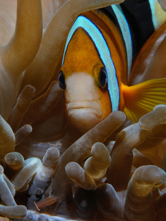 Nemo fish (Yellowtail clownfish (Eng) - Amphiprion clarkii (Lat)) and shrimp are living inside one anemone, Puerto Galera, Philippines 스톡 콘텐츠