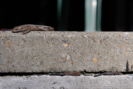 Juvenile lizards are passing by a bigger one basking in the sun, Puumala, Finland 版權商用圖片