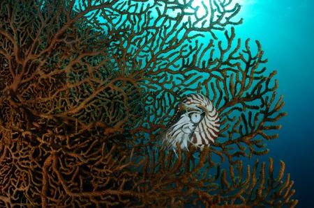 Nautilus is hiding inside a Giant sea fan, Panglao, Philippines