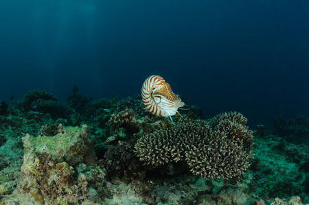 Nautilus is hovering over a table coral, Panglao, Philippines