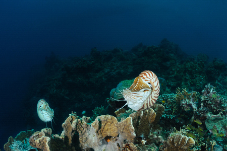 Two nautilus are hovering over a coral reef, Panglao, Philippines
