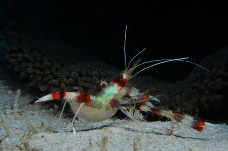 Banded boxer shrimp (Stenopus hispidus (lat.) full of hard roe is walking near the anemone, Panglao, Philippines Stock Photo
