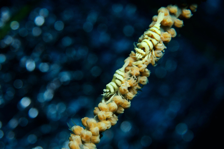 Couple of whip coral partner shrimps are sitting on a sea whip coral with a silver bokeh in a the background, Panglao, Philippines Stock Photo