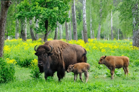 Adult female American bison and 1 week- and 1 month-old calves at the Prioksko-terrasny biosphere reserve, Russia