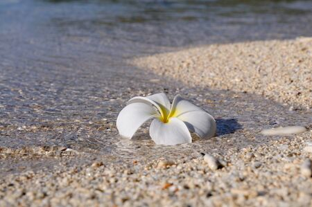 Plumeria (Frangipani) flower is floating in the shallow water, Panglao, Philippines
