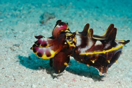 An extremely venomous Pfeffer's flamboyant cuttlefish (Metasepia pfefferi) looks like a tiny hippopotamus, Panglao, Philippines Banco de Imagens