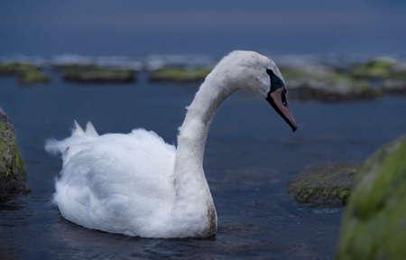 A swan is floating in the Baltic waters at dusk, Baltic coast, Kaliningrad region, Russia Standard-Bild