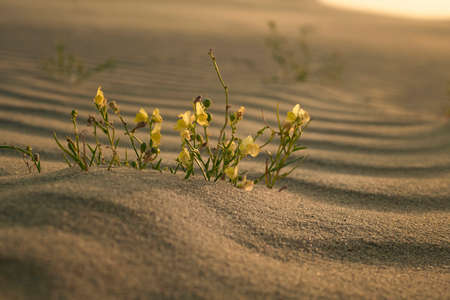 A group of blooming Gallwort (Linaria loeselii) in its natural environment at dawn, Curonian Spit, Kaliningrad region, Russia
