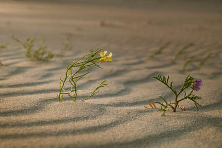 Gallwort (Linaria loeselii) and Baltic sea rocket (Cakile baltica) are bending under the wind trying to survive in the sand at dawn, Curonian Spit, Kaliningrad region, Russia