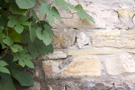 Photo of old brick wall and grape leafs background. Stock Photo