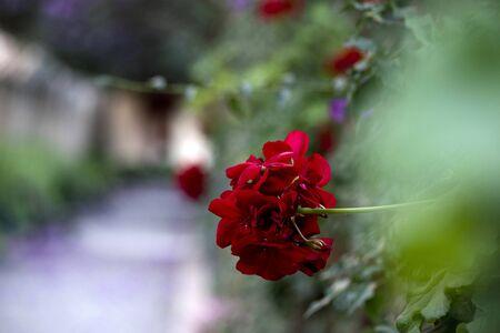 Red geraniums in full bloom.
