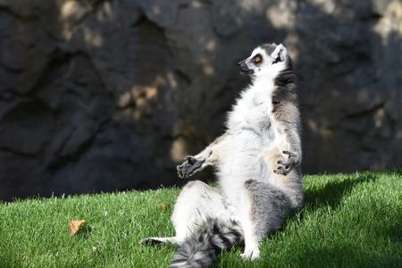 Sitting ring-tail lemur.