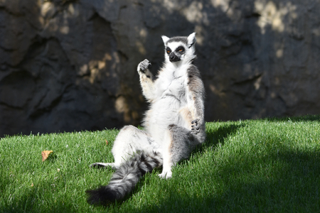 Sitting ring-tail lemur. Banco de Imagens - 56997173