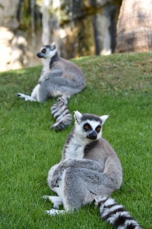 Sitting ring-tailed lemurs.