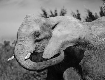 Elephant portrain in black and white. 免版税图像