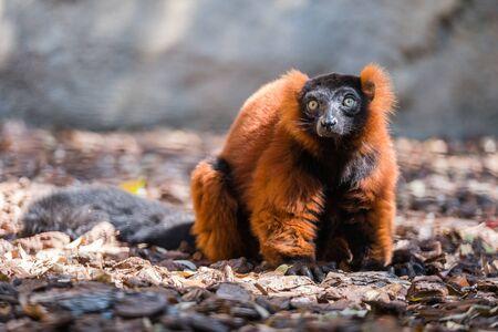 Portrait of a funny brown lemur showing a tongue. Foto de archivo