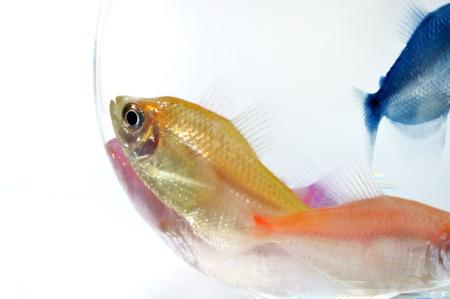 aquarium fish Stock Photo - 10639741