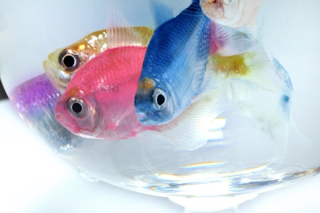 aquarium fish Stock Photo - 10639738