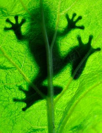 gaudy: Frog resting on a leaf