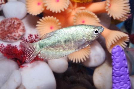 Aquarium fish Stock Photo - 11792847