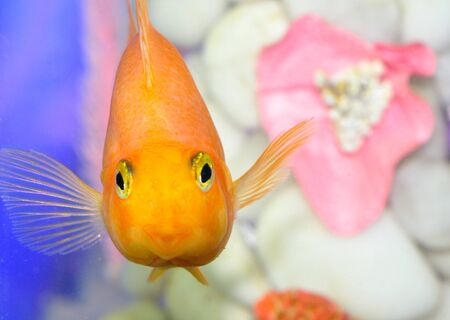 Red Parrot fish swimming in aquarium photo