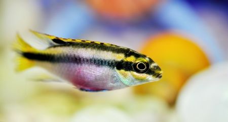 Aquarium fish Stock Photo - 12476191