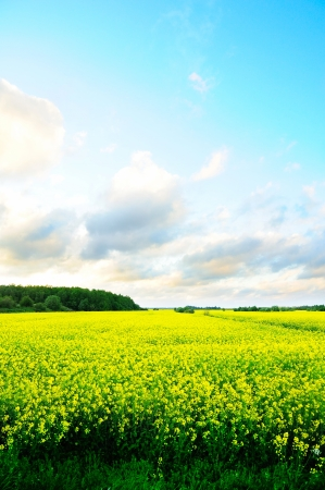Field with yellow flowers Stock Photo - 13975356
