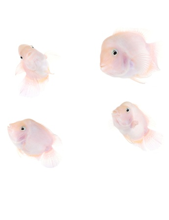 Aquarium fish  Stock Photo - 18486419