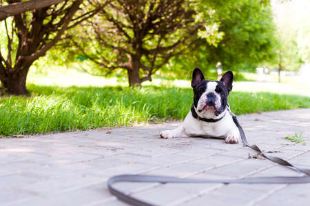 A cute french bulldog smiles for the camera while relaxing in a park.