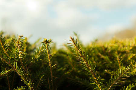 Blue spruce tree close-up. Beautiful Christmas background