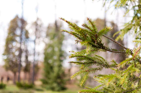 Beautiful fir-needle tree branches composition.