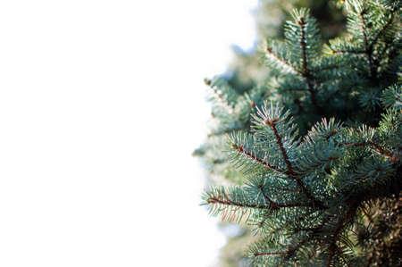 Fir tree brunch close up. Shallow focus. Fluffy fir tree brunch close up. Christmas wallpaper concept.