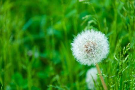 Dandelion seeds in the morning sunlight blowing away across a fresh green grass.