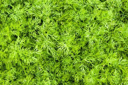 Dill Plants, Herb leaf background, Organic vegetables healthy vegetable.