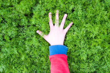 In the hands of fresh dill. Garden of vegetables. Field of green dill.