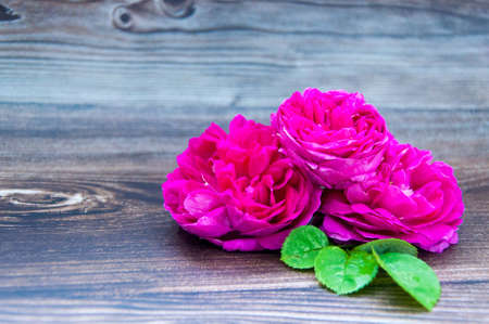 Purple roses, isolated on brown wood table.