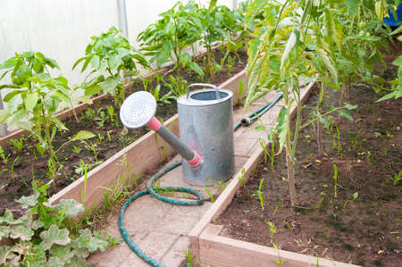 Large watering can for watering in the greenhouse among plants tomato. Stok Fotoğraf