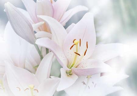 Blurred natural background of Madonna White Lilly flower, Stargazer