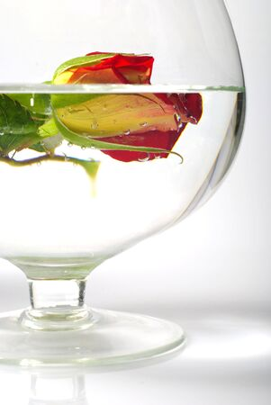 transparence: Still life with cracked rose in water. Half of rose distorted in water through big glass.