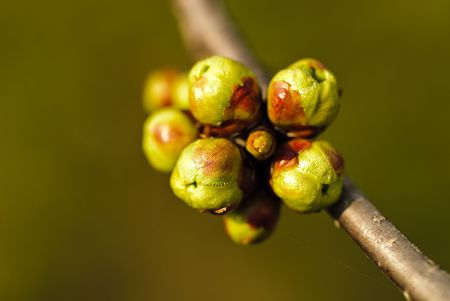 dof: Buds on the branch of tree close up. Shallow DOF, macro. Stock Photo