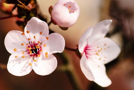 ornamental horticulture: Asian plum blossom macro. Shallow deep of field. Focus on stamens