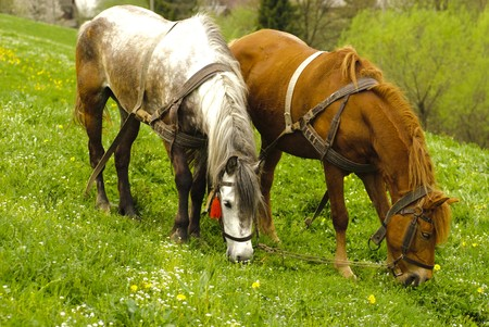Two horses graze on countryside meadows, spring photo