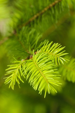 pine: New needles on the fir. Close up nature, shallow DOF.