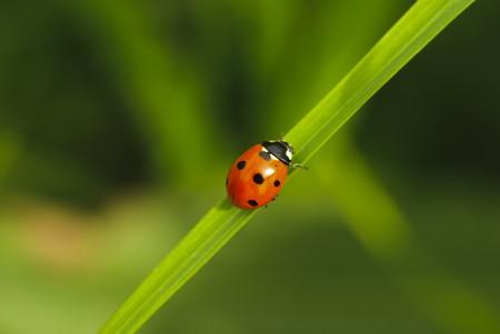 hexapod: ladybird on green blade of grass close up